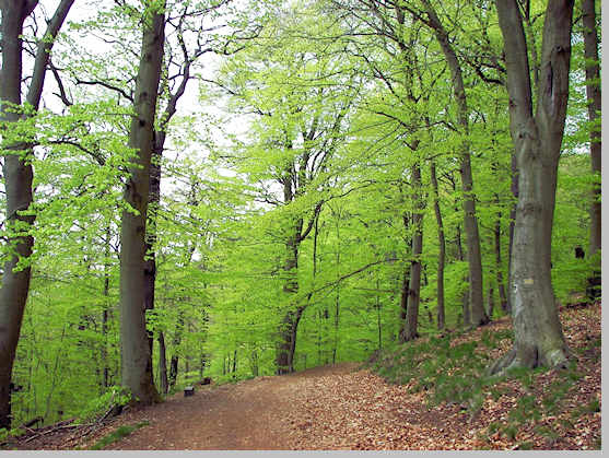 Beech forest in Paklenica