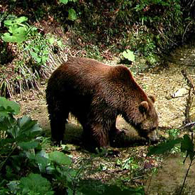 Brown bear in Plitvice Lakes National Park